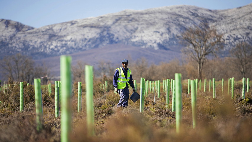 Technician stands among newly planted tree seedlings which are encased in green tubes for support
